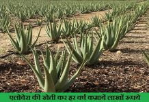 Aloe vera farming in hindi एलोवेरा की खेती